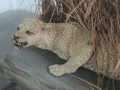 Macan Tutul Zanzibar