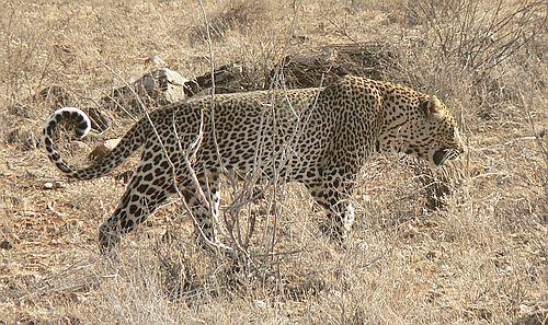 Macan tutul Afrika