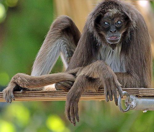 Monyet Laba-laba Coklat
