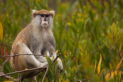 Monyet Patas
