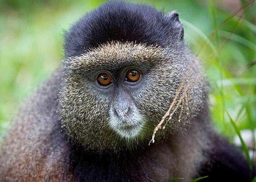 Monyet emas