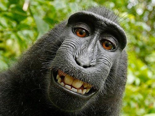 Monyet selfie