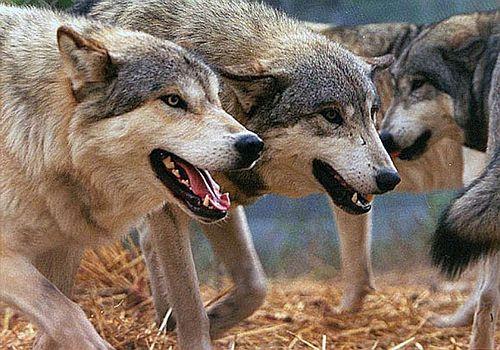 Serangan Serigala