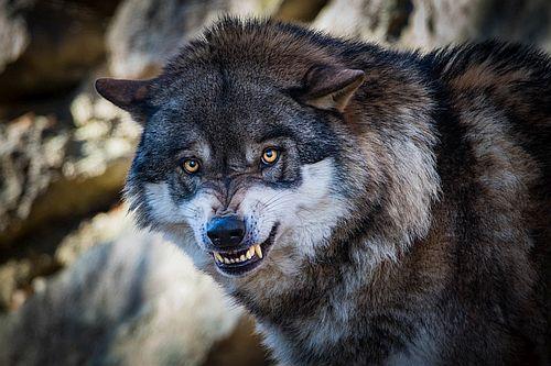 Serigala Marah