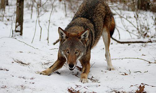 Serigala merah