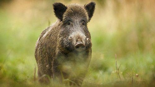 Babi hutan2