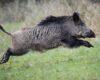 babi hutan3