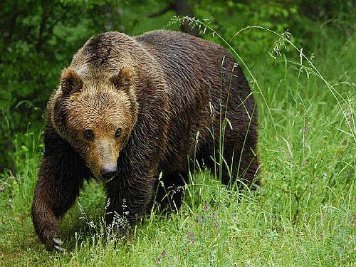 Beruang Coklat Marsica