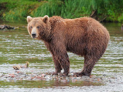 Foto beruang cokelat