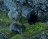 Foto Beruang Gletser