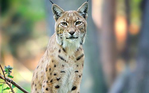 Foto Lynx Eurasia