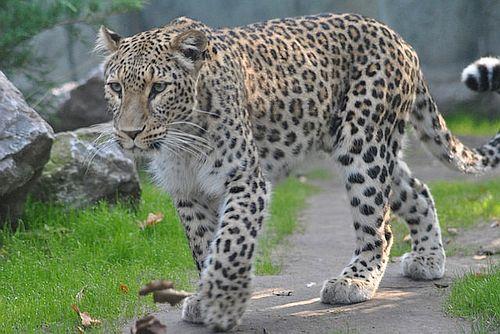Foto Macan Tutul Persia