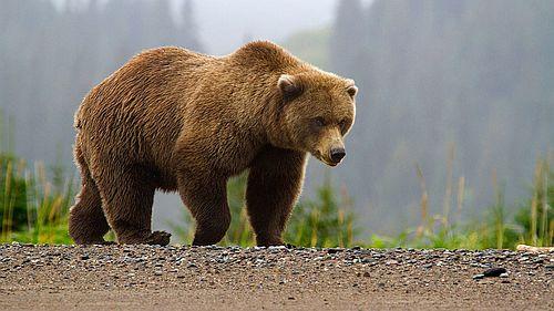 Gambar Beruang Cokelat
