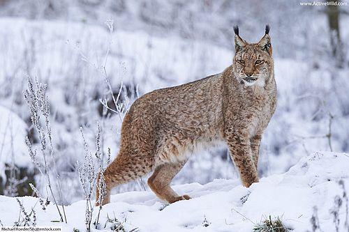 Gambar Lynx Eurasia