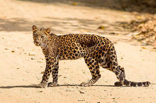 Gambar Macan Tutul Indochina