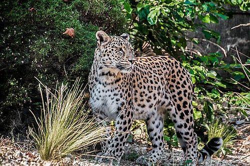 Gambar Macan Tutul Persia