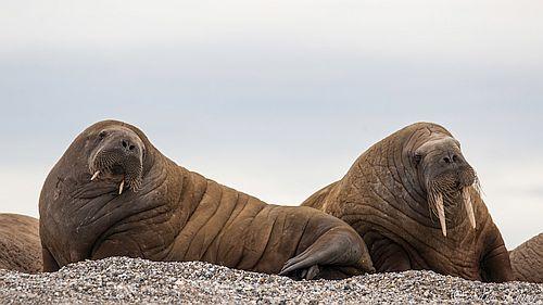 Gambar Walrus
