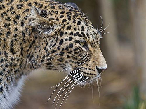Macan Tutul Persia
