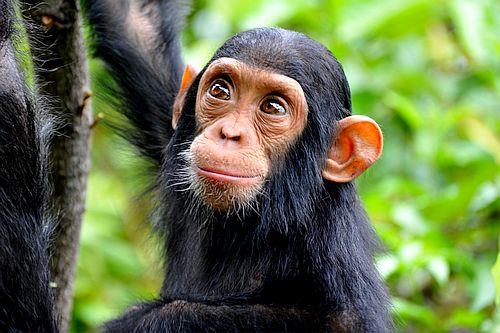 foto bayi simpanse