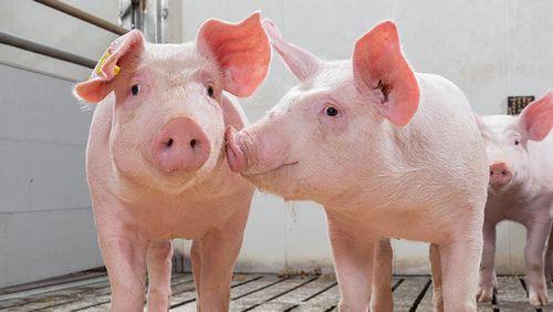 Kecerdasan babi